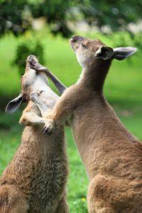 https://pixabay.com/en/animal-attack-australian-beat-16740/